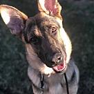 Adopt A Pet :: Sheppie (Oscar)