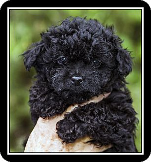 black maltese poodle fort bragg ca poodle miniature meet louie a pet for 6942