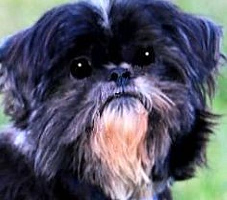 Wakefield Ri Shih Tzu Meet Randy Please Read My Story A Pet For