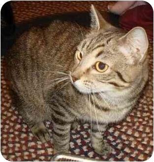 Domestic Mediumhair Cat for adoption in Indianapolis, Indiana - Enaya