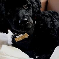 Cockapoo Puppies for Sale in Phoenix Arizona - Adoptapet com
