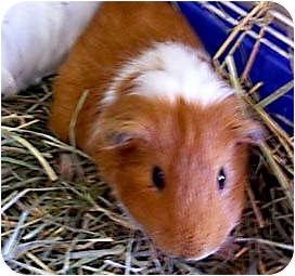 Guinea Pig for adoption in Fullerton, California - Astro & Dennis