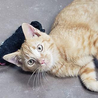 Adopt A Pet :: Dandy  - Wilmington, OH