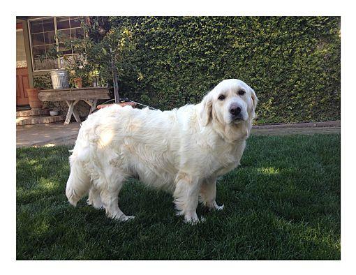 Lodi Ca Golden Retriever Meet Katie A Pet For Adoption