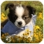 Photo 2 - Shih Tzu/Chihuahua Mix Puppy for adoption in Cranford, New Jersey - Maxwell