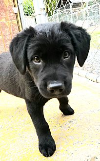 Adopt A Pet :: ROCK STAR  - Snow Hill, NC