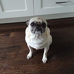 Pug Puppies for Sale in Chicago Illinois - Adoptapet com