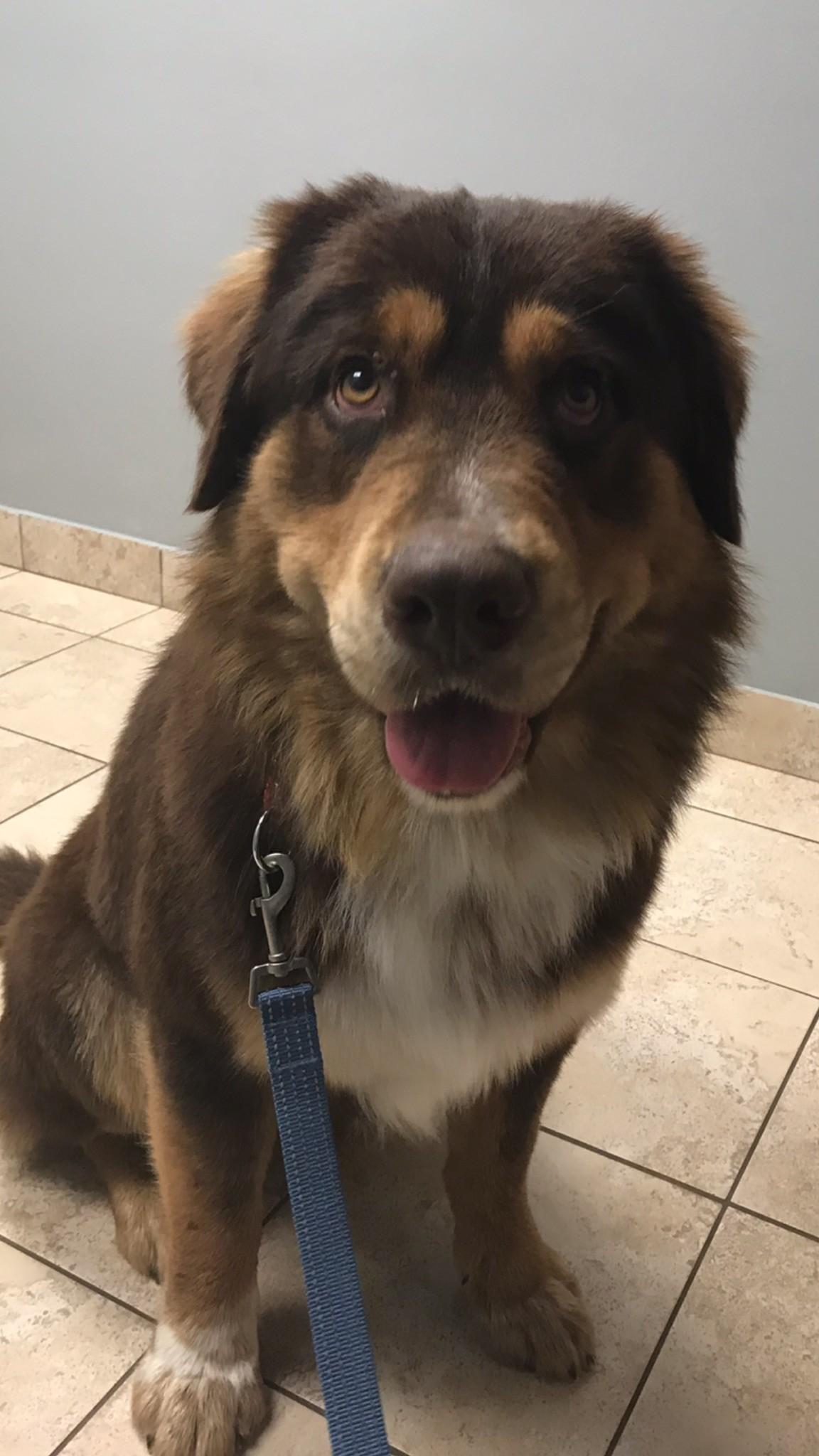 Bend Or Bernese Mountain Dog Meet Bear A Pet For Adoption