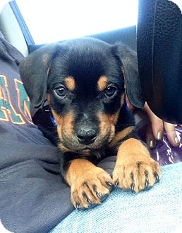 Miami Fl Rottweiler Meet Kristoff A Pet For Adoption