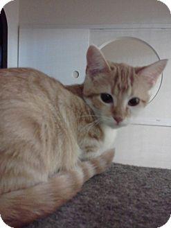 Domestic Shorthair Kitten for adoption in McHenry, Illinois - Ginger