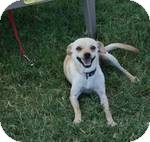 Chihuahua/Terrier (Unknown Type, Small) Mix Dog for adoption in Patterson, California - Tipper