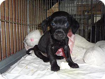 Minneapolis Mn Miniature Pinscher Meet Axel A Pet For Adoption
