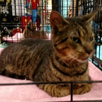 Domestic Mediumhair Cat for adoption in Garner, North Carolina - Tabby