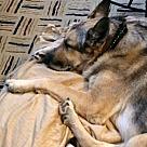 Adopt A Pet :: Chief