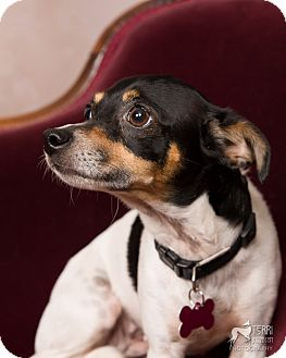 Salem Or Rat Terrier Meet Moomoo A Pet For Adoption