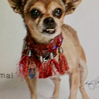Adopt A Pet :: Teddy Bear, 11 year old  angel - Corona, CA