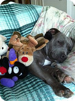 Pit Bull Terrier Mix Dog for adoption in Hermosa, California - Dezzi