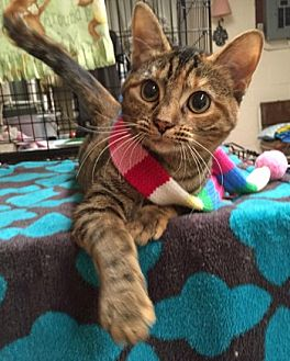 Domestic Shorthair Cat for adoption in Lutherville, Maryland - Prim