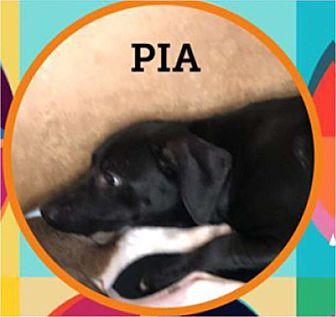 Adopt A Pet :: Pia  - Windsor, NC
