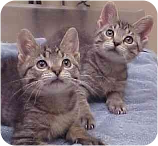 Domestic Shorthair Kitten for adoption in Chicago, Illinois - Brothers Gregor & Yuri