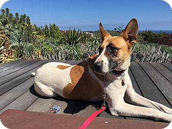 Shepherd (Unknown Type)/Pharaoh Hound Mix Dog for adoption in Los Angeles, California - KAYLA