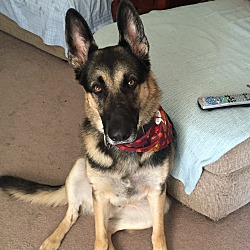 IMMINENT DANGER GERMAN SHEPHERD RESCUE - NH Chapter in Nashua, New