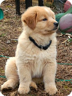 Salem Nh Golden Retriever Meet Puppy Honey Bear A Pet For Adoption