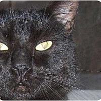 British Shorthair Kittens for Sale in Ohio - Adoptapet com