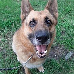 German Shepherd Rescue & Adoptions in Greensboro, North Carolina