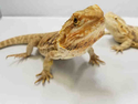 Adopt a Pet :: *WAYNE - Brighton, CO -  Lizard