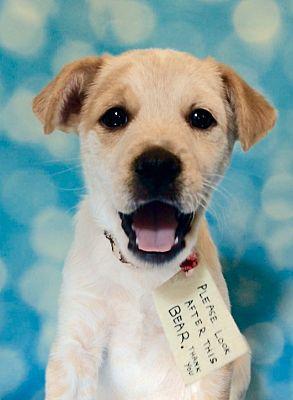 Lakeland, TN - Cattle Dog  Meet Paddington a Pet for Adoption