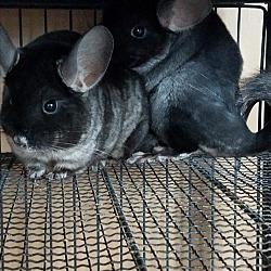hubert north carolina other pets for adoption from possumwood