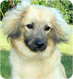 Cocker Spaniel/Sheltie, Shetland Sheepdog Mix Puppy for adoption in Pawling, New York - LEVI