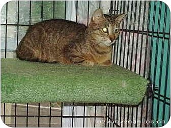 Domestic Shorthair Cat for adoption in Stuarts Draft, Virginia - April