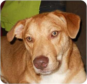 Labrador Retriever Mix Dog for adoption in Naugatuck, Connecticut - Tommi