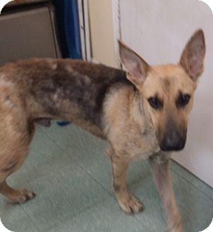 Homestead Fl German Shepherd Dog Meet Coyote A Pet For Adoption
