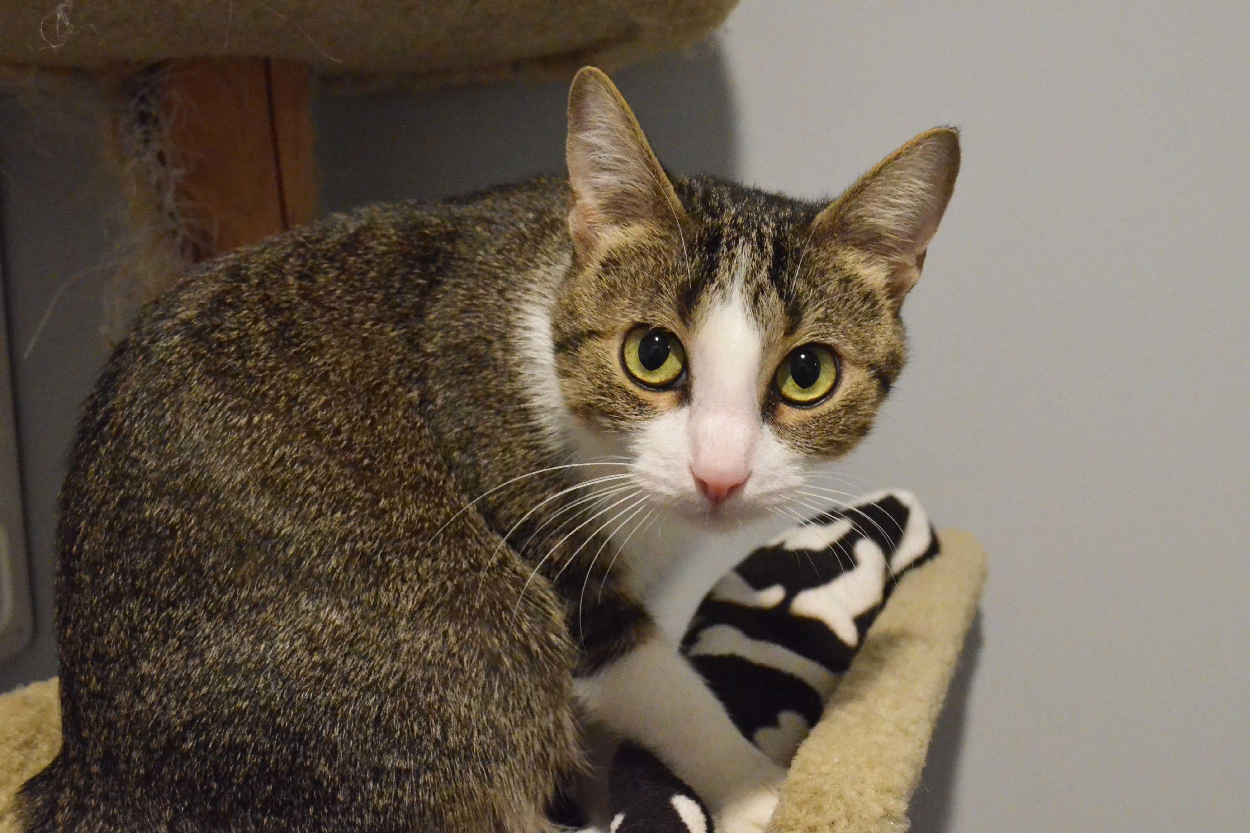 Lincoln, NE - Domestic Shorthair. Meet Tokuko a Cat for Adoption.