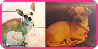 Chihuahua Mix Dog for adoption in Scottsdale, Arizona - Reese