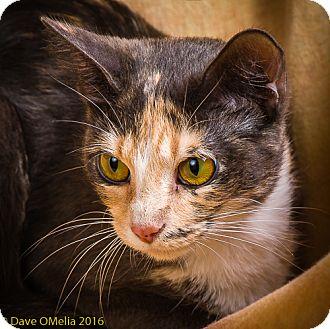 Domestic Shorthair Cat for adoption in Anna, Illinois - DIVA