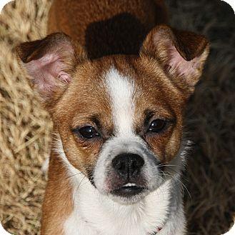 Edmonton Ab Basenji Meet Hannah A Pet For Adoption