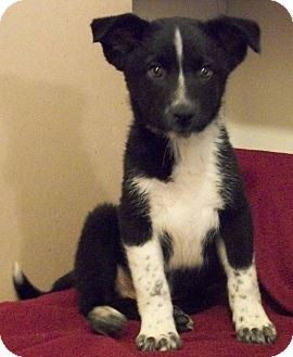 Collie Mix Puppy for adoption in Orland Park, Illinois - Stripes
