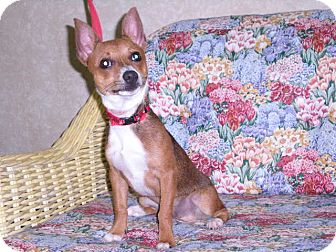 "Chihuahua Mix Dog for adoption in New Castle, Pennsylvania - "" Poncho """