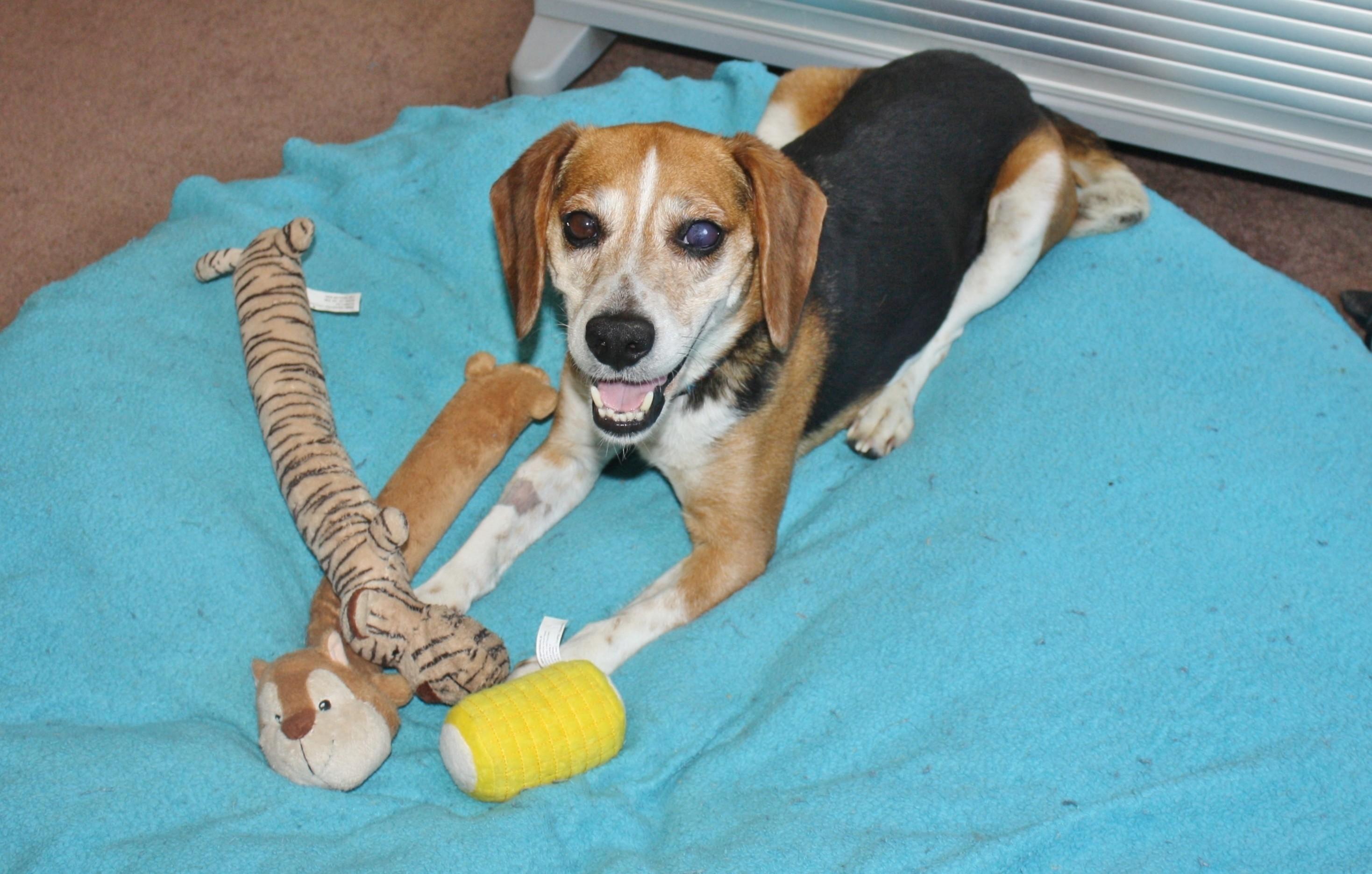 Bellflower, CA - Beagle. Meet Ben (and Sandy) a Dog for Adoption.