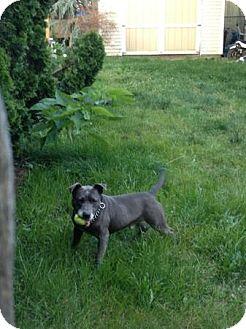Pit Bull Terrier/Labrador Retriever Mix Dog for adoption in selden, New York - Archie
