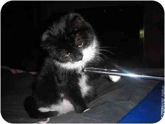 Domestic Mediumhair Kitten for adoption in Naperville, Illinois - Mittens