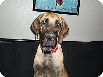 phoenix az great dane meet zurrie update a pet for adoption