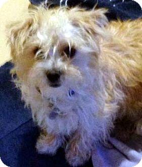 Salt Lake City Ut Yorkie Yorkshire Terrier Meet Faith A Pet For