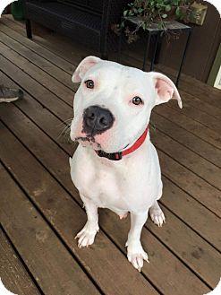American Pit Bull Terrier Mix Dog for adoption in Salem, Oregon - Lola