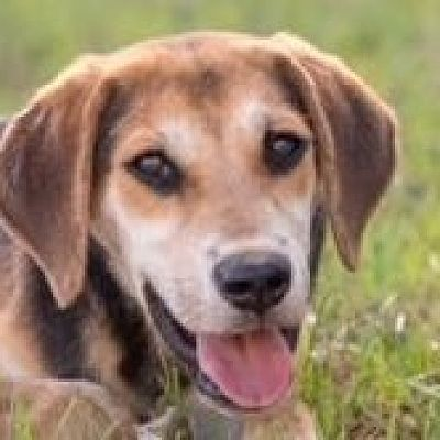 Albany Ny Beagle Meet Samsom A Pet For Adoption