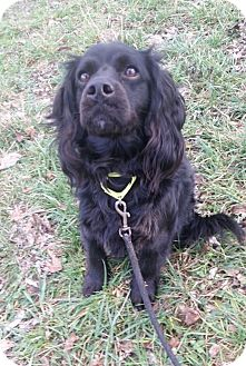 Cocker Spaniel Mix Dog for adoption in South Park, Pennsylvania - Cooper